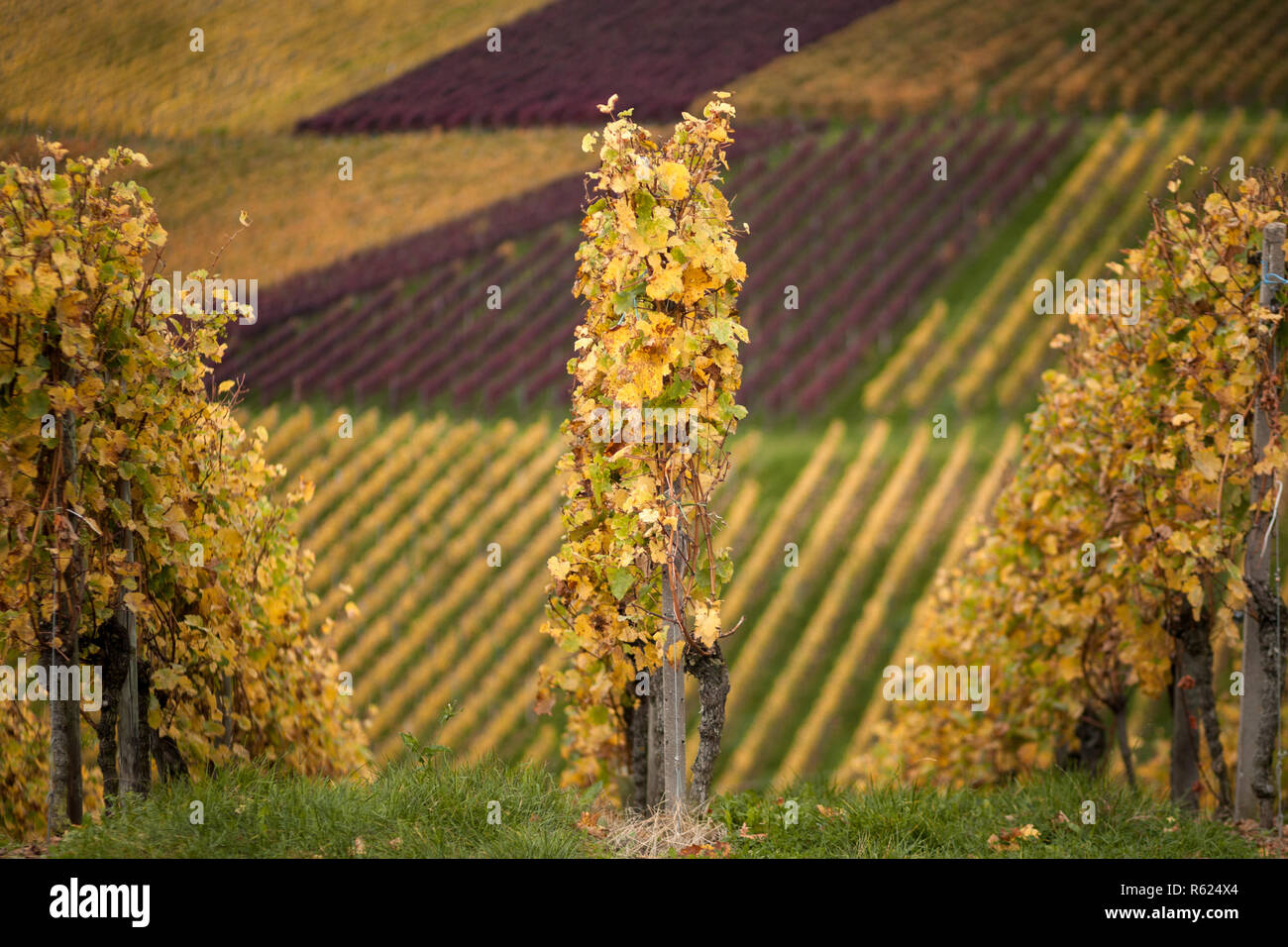 Vid de otoño Foto de stock