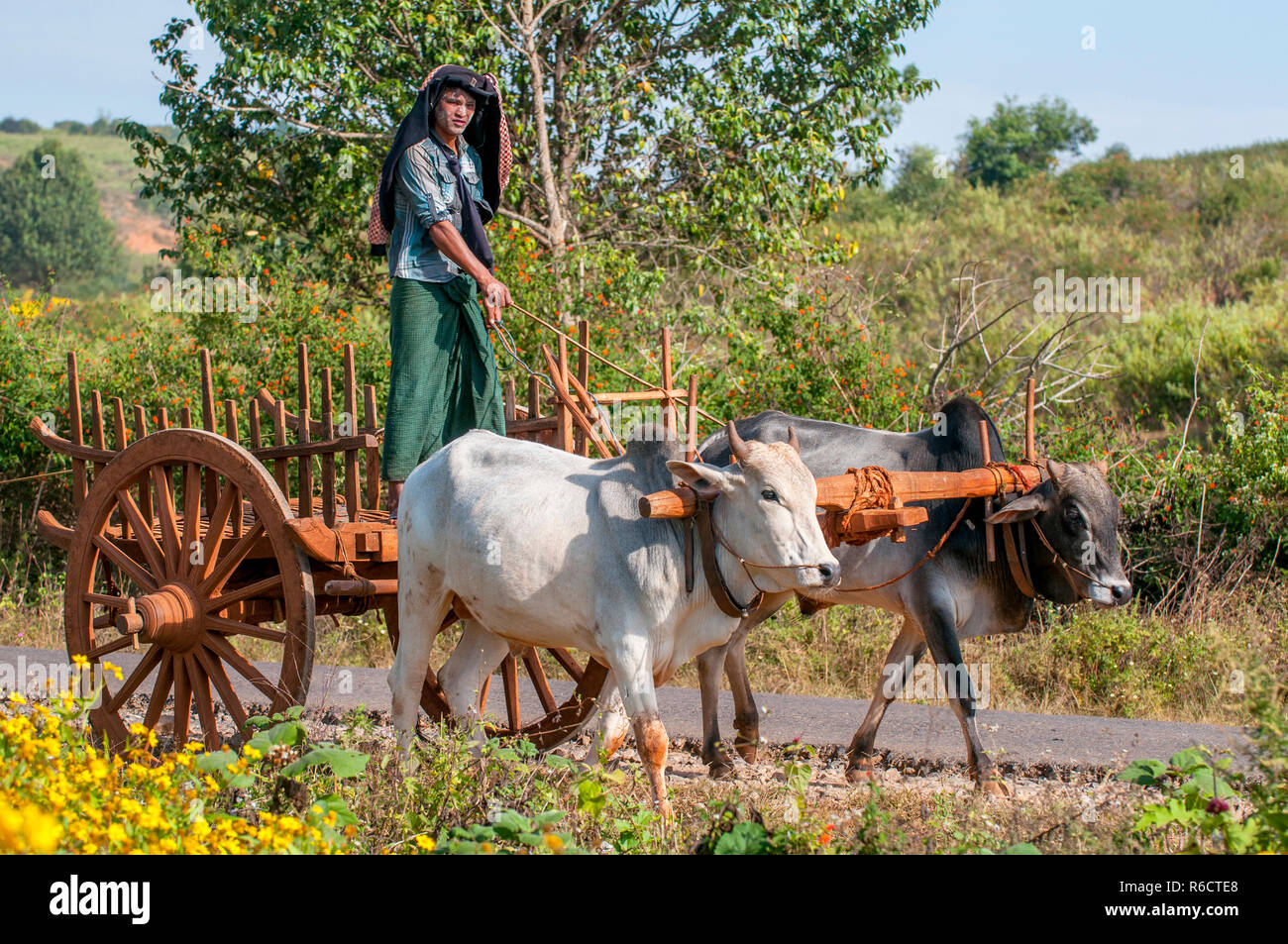 El hombre rural birmana conduce carro de madera con heno en carretera polvorienta dibujado por dos búfalos blanco paisaje rural y tradicional aldea la vida en Birmania Countr Foto de stock