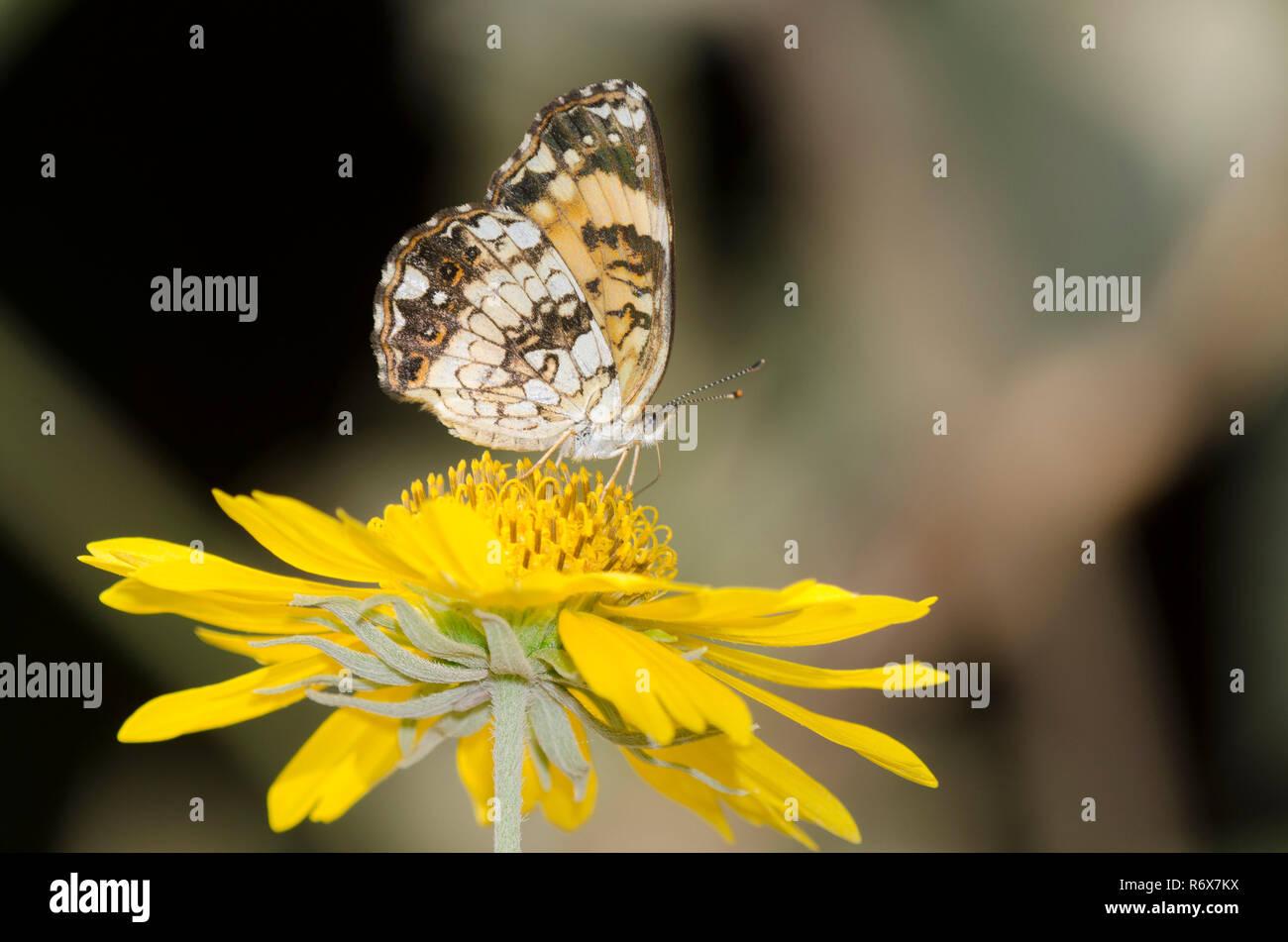 Plateado, Chlosyne nycteis Checkerspot, en Golden Crownbeard, Verbesina encelioides Foto de stock