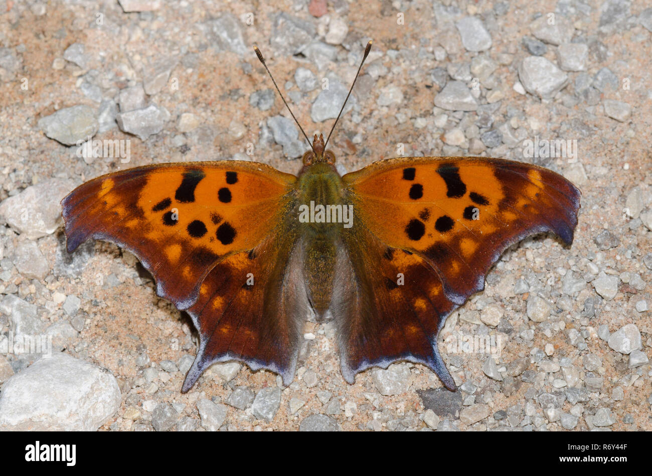 Signo de interrogación, Polygonia interrogationis Foto de stock