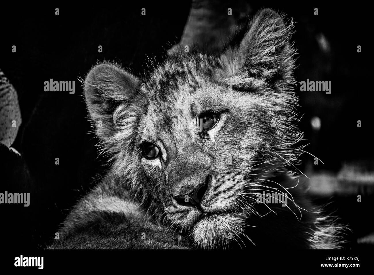 Un bello retrato de un bebé cachorro de león tener un descanso a la sombra en blanco y negro Foto de stock