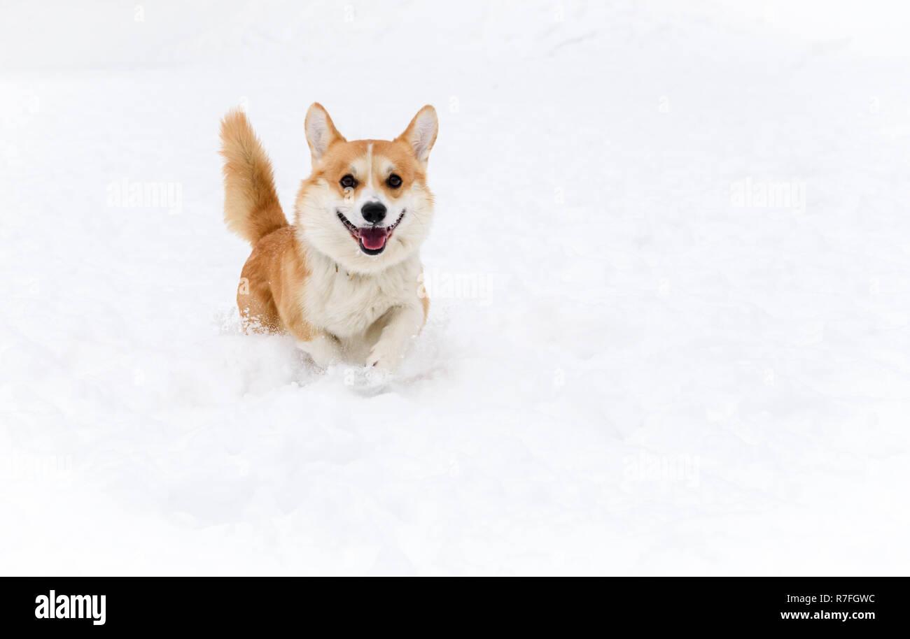 Pembroke Welsh Corgi perro corre en la cámara sobre la nieve Foto de stock