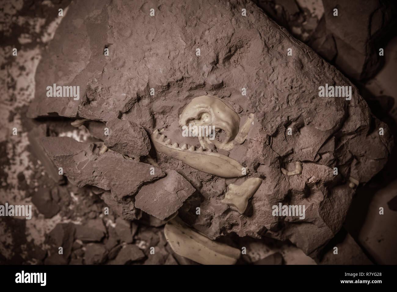 Fósiles de dinosaurios de la época jurásica, excavaciones paleontológicas Imagen De Stock