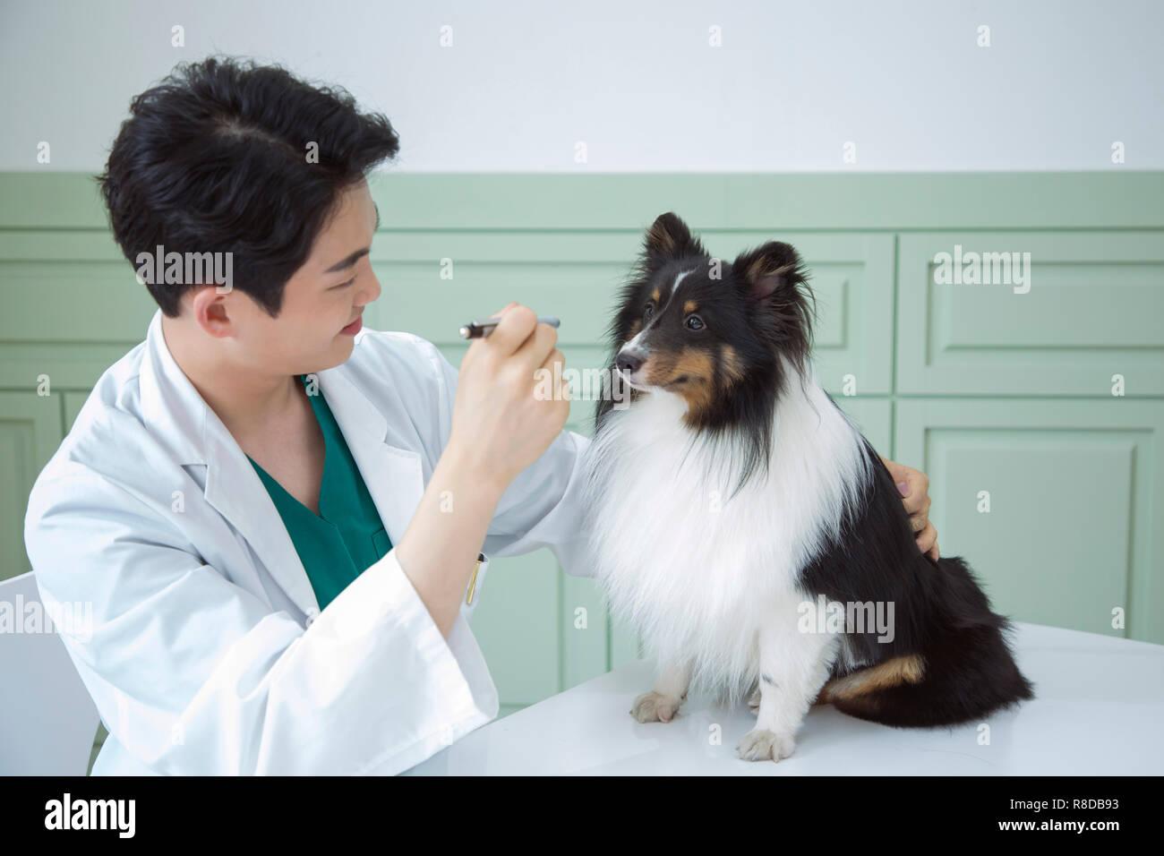 80d4345aa Animales y Mascotas Cuidado de la salud del concepto médico veterinario con  estetoscopio verificando la salud del perro en la clínica. 023