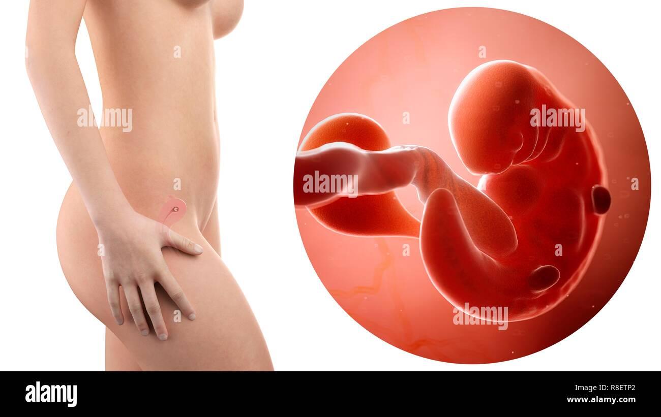 Ilustración de una mujer embarazada y el feto de 6 semanas