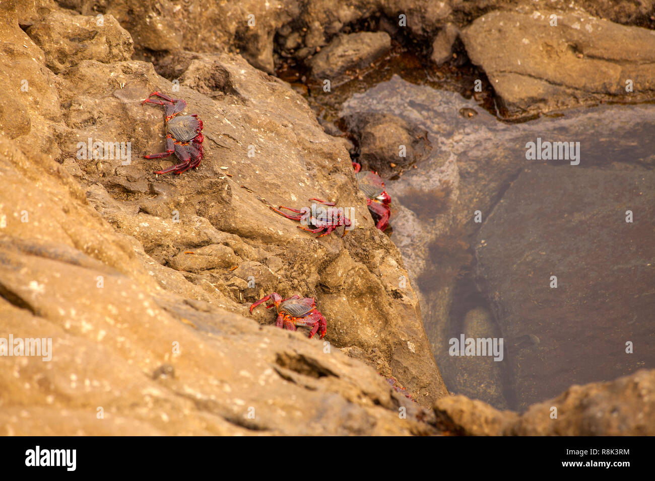 Fauna de Gran Canaria - los cangrejos Grapsus adscensionis por la orilla, zona Banaderos Foto de stock