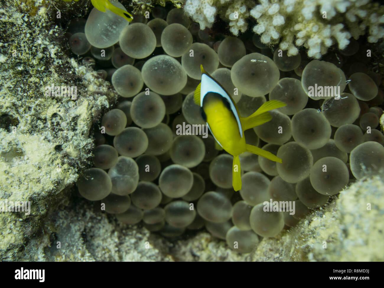 1-wöchige Tauchsafari am Roten Meer, Marsa Alam en Ägypten Foto de stock