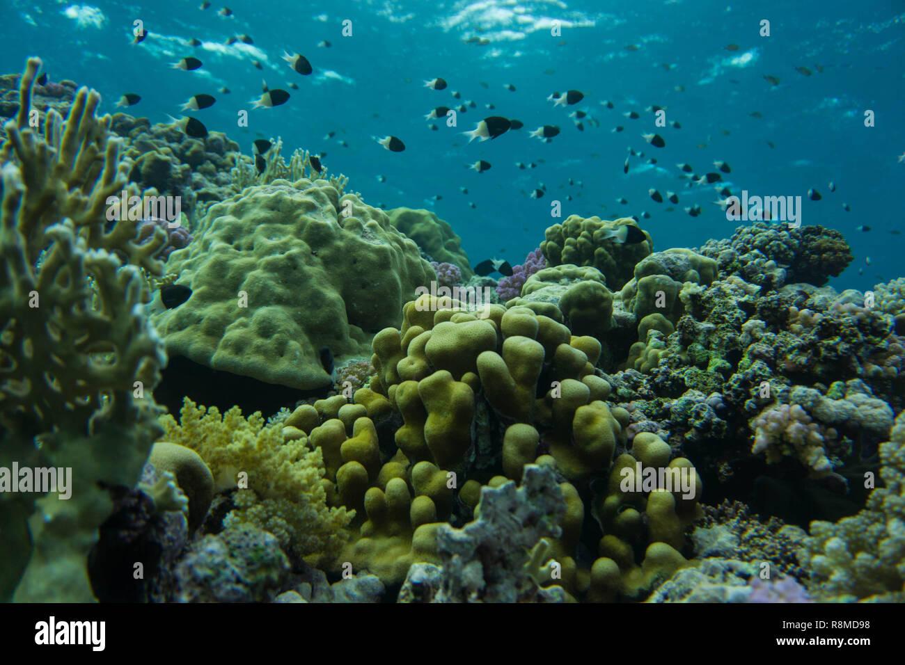 Wunderschöne Korallenbänke am Roten Meer. Auch die sind wundervoll Fischschwärme Foto de stock