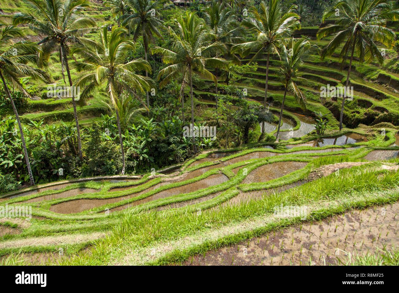 Un Arroz De Tegalalang Vistas Desde La Terraza De Bali En