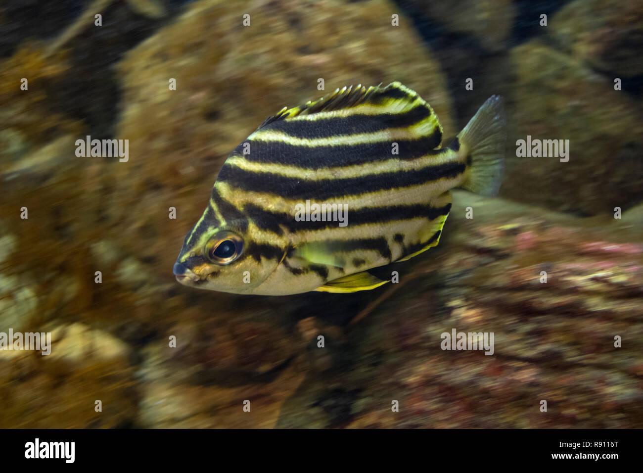 Natación tropical en un acuario submarino Stripey Imagen De Stock