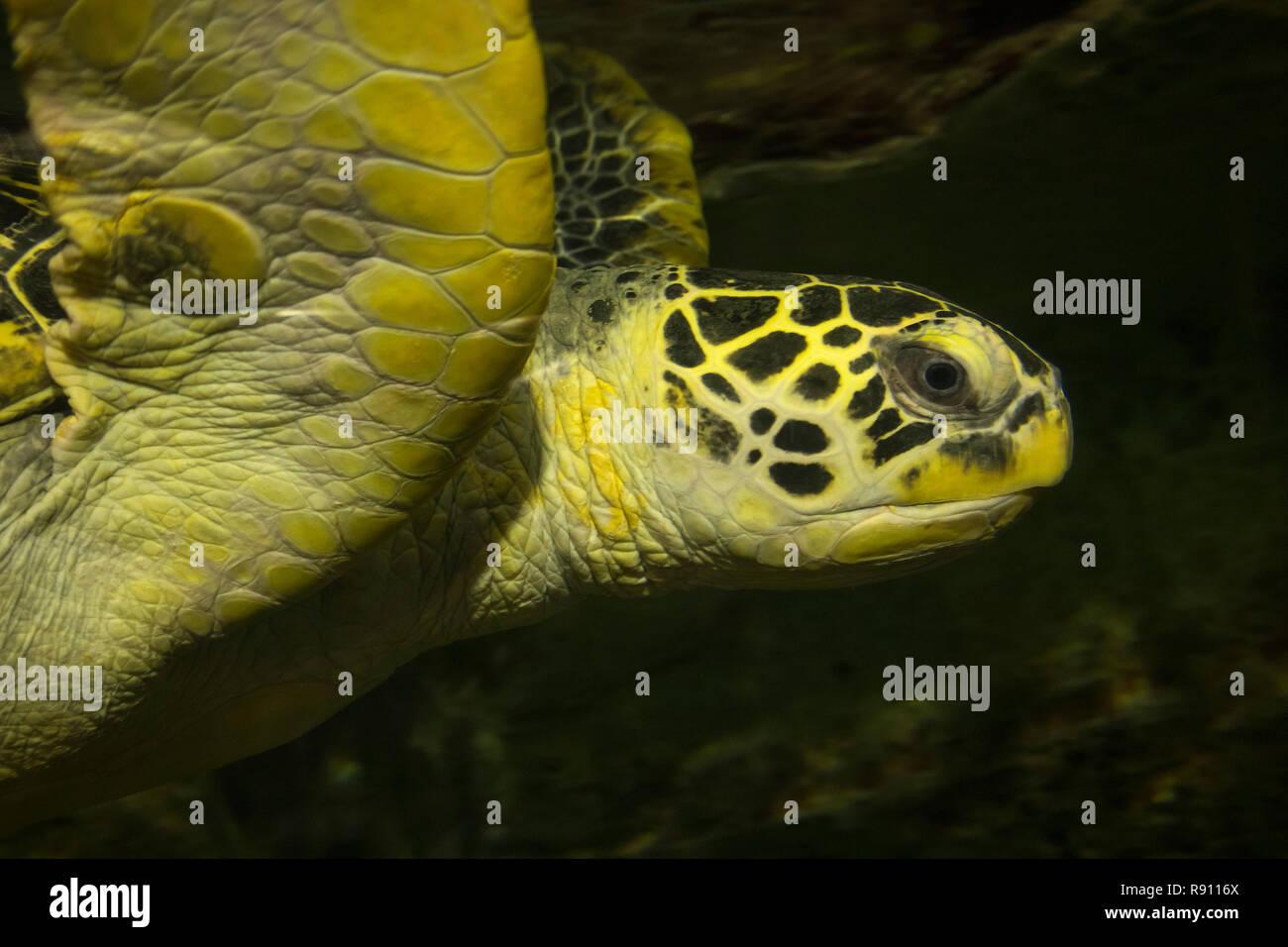 Cerca de la cabeza de la natación subacuática de las tortugas verdes Foto de stock