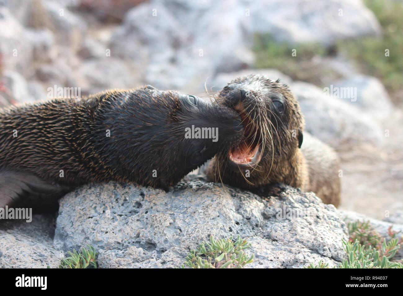 Un Par De Lobos Cachorros Jugar Combates En Las Islas Galápagos