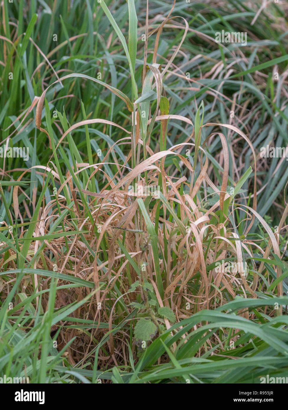 Mechón de pasto moribundo al final de temporada. También metáfora de la vejez, a punto de morir, la muerte de la High street UK, muertos, parche de hierba. Foto de stock