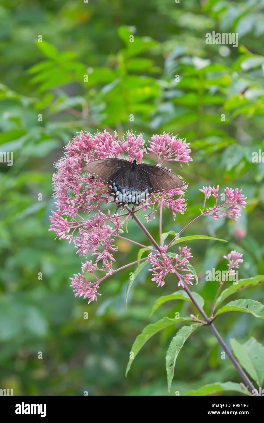 Especie Spicebush, Papilio Troilo Foto de stock