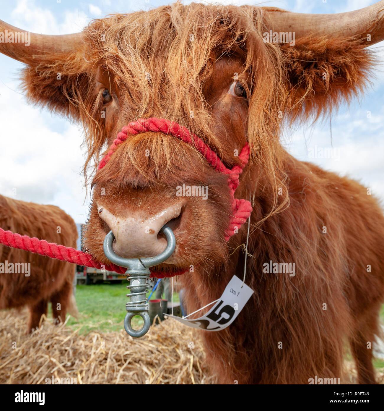 Formato cuadrado cerrar bull imágenes Foto de stock