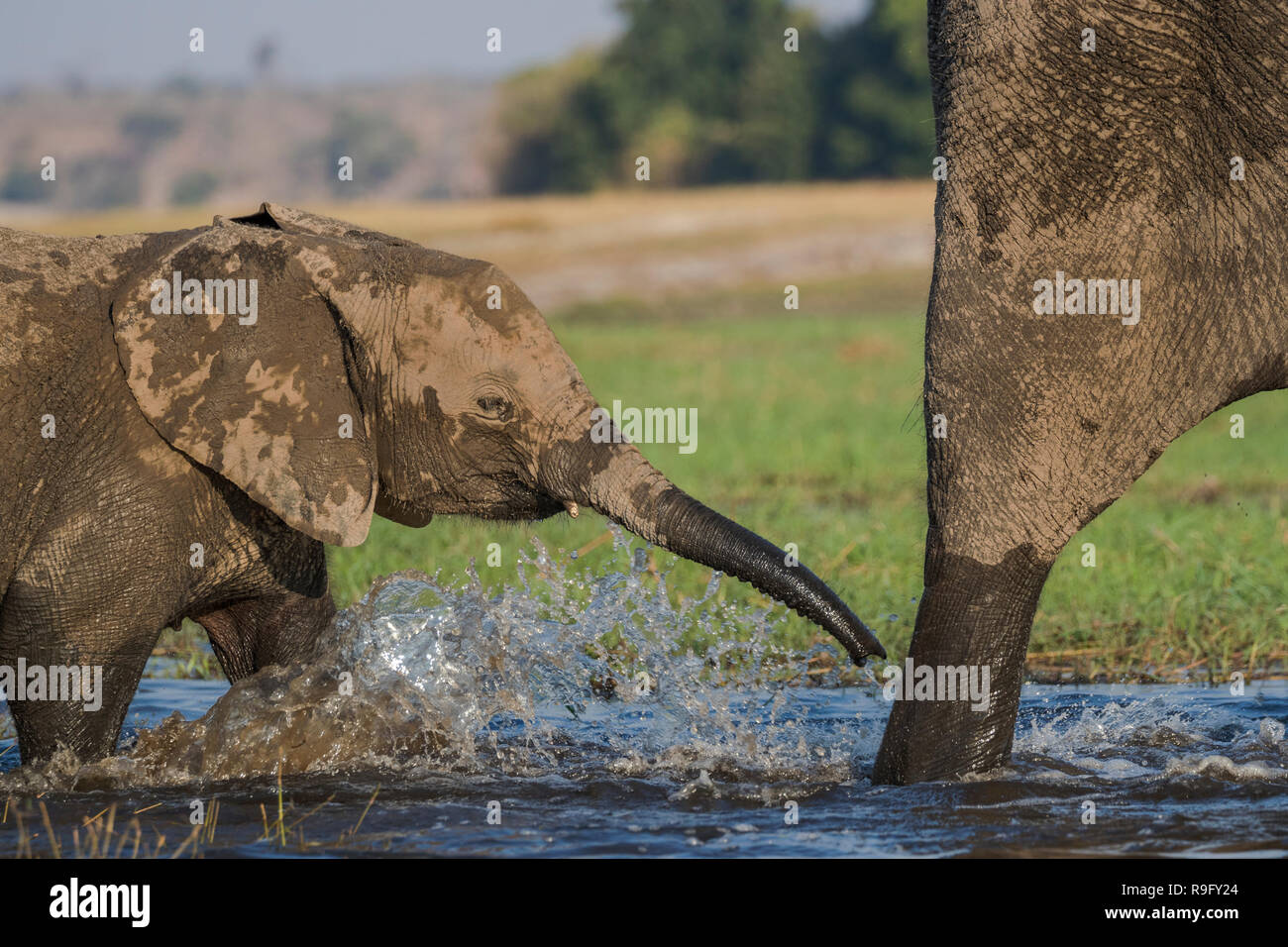 Elefante africano (Loxodonta africana) ternero cruce del río Chobe, Botswana, Foto de stock