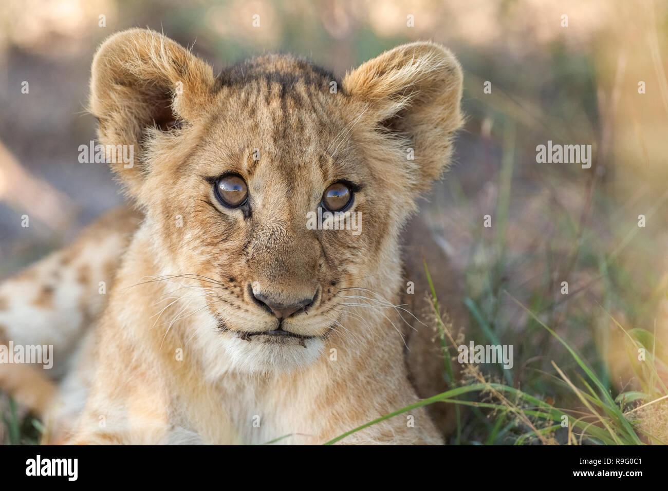 Cachorro de león en la cálida luz buscando interesados tumbado en la hierba Foto de stock