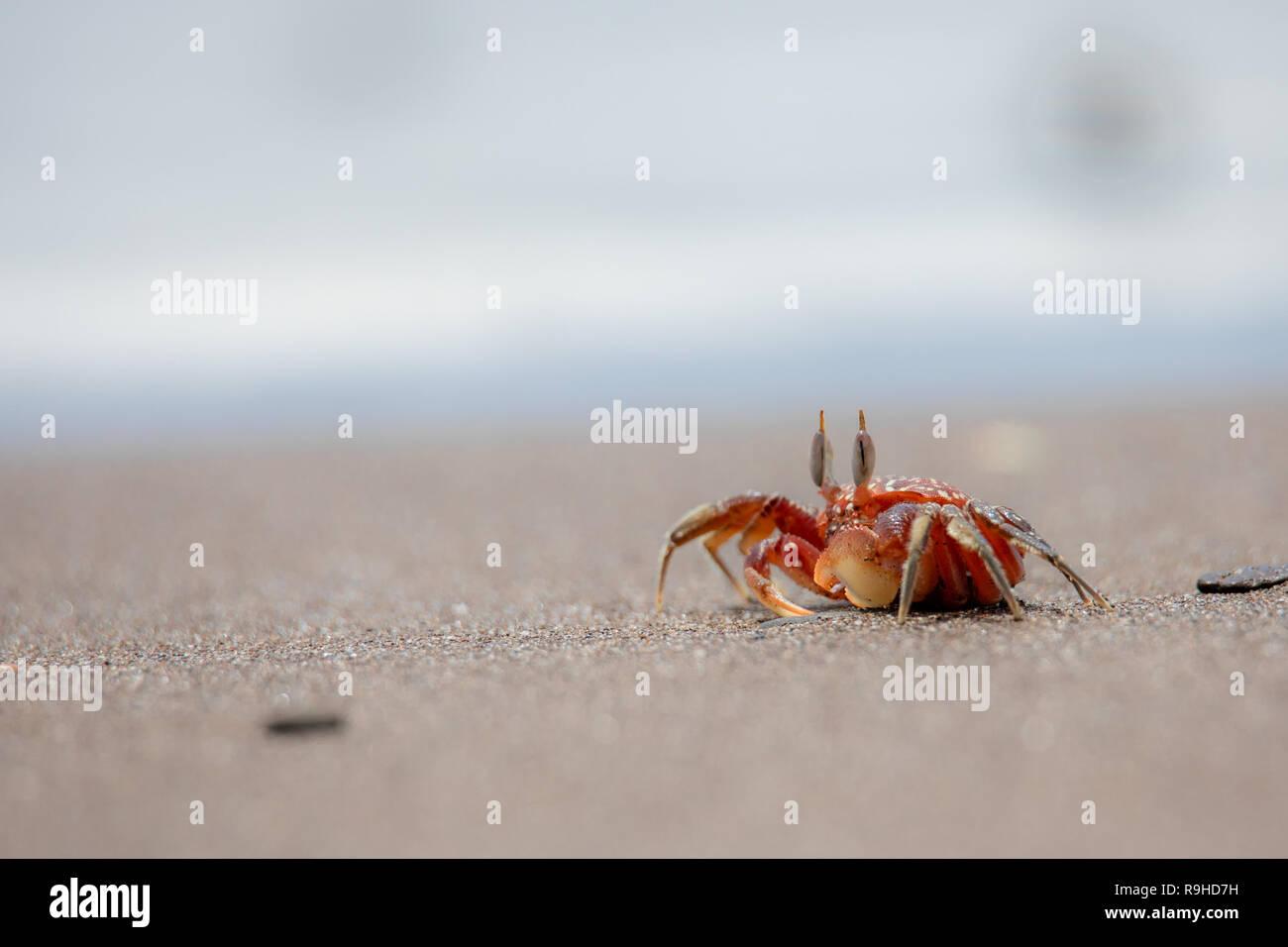 Rojo cangrejo fantasma fantasma cangrejo rojo de la Isla de la Plata Ecuador Foto de stock