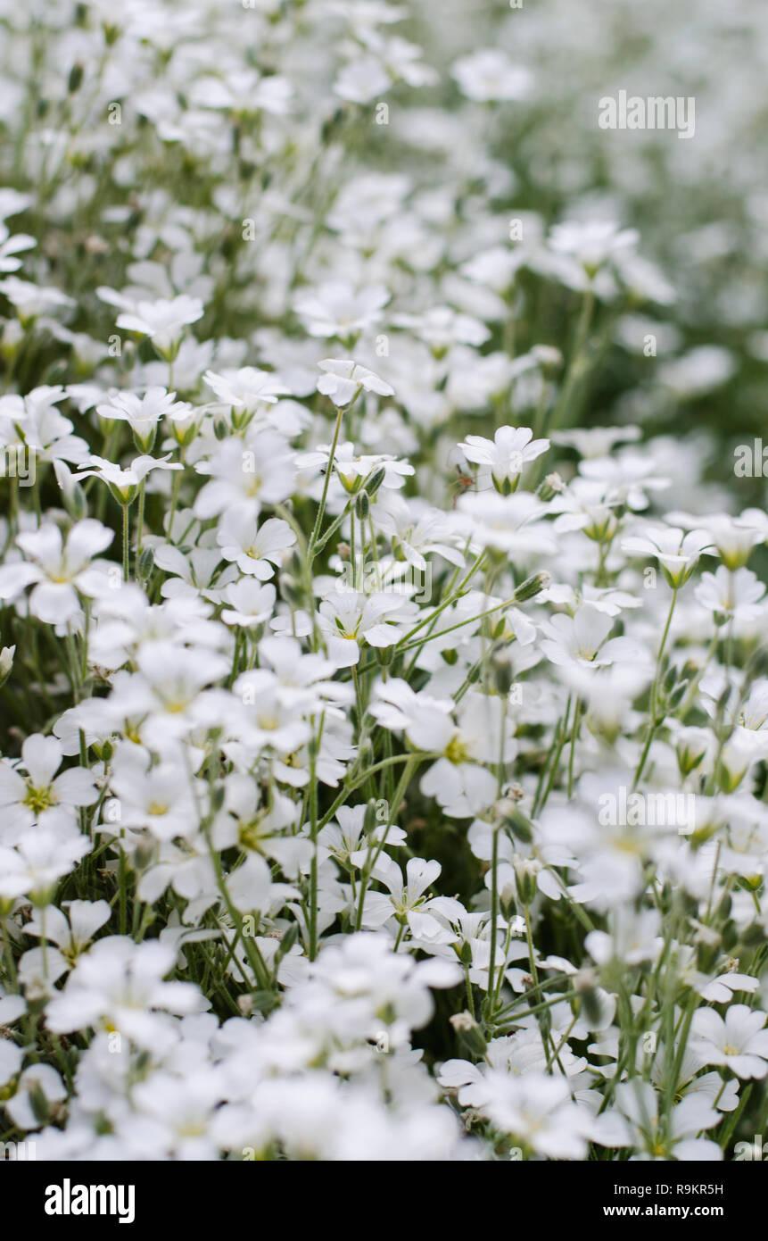 Cerastium Tomentosum En Flor Hermosas Flores Blancas De Fondo Foto