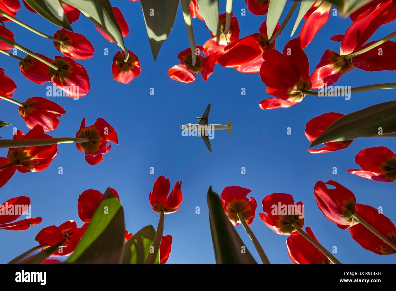 Avión que volaba en medio del ajuste concéntrico tulipanes rojos apuntando a un cielo azul sin nubes vivid muelle Imagen De Stock