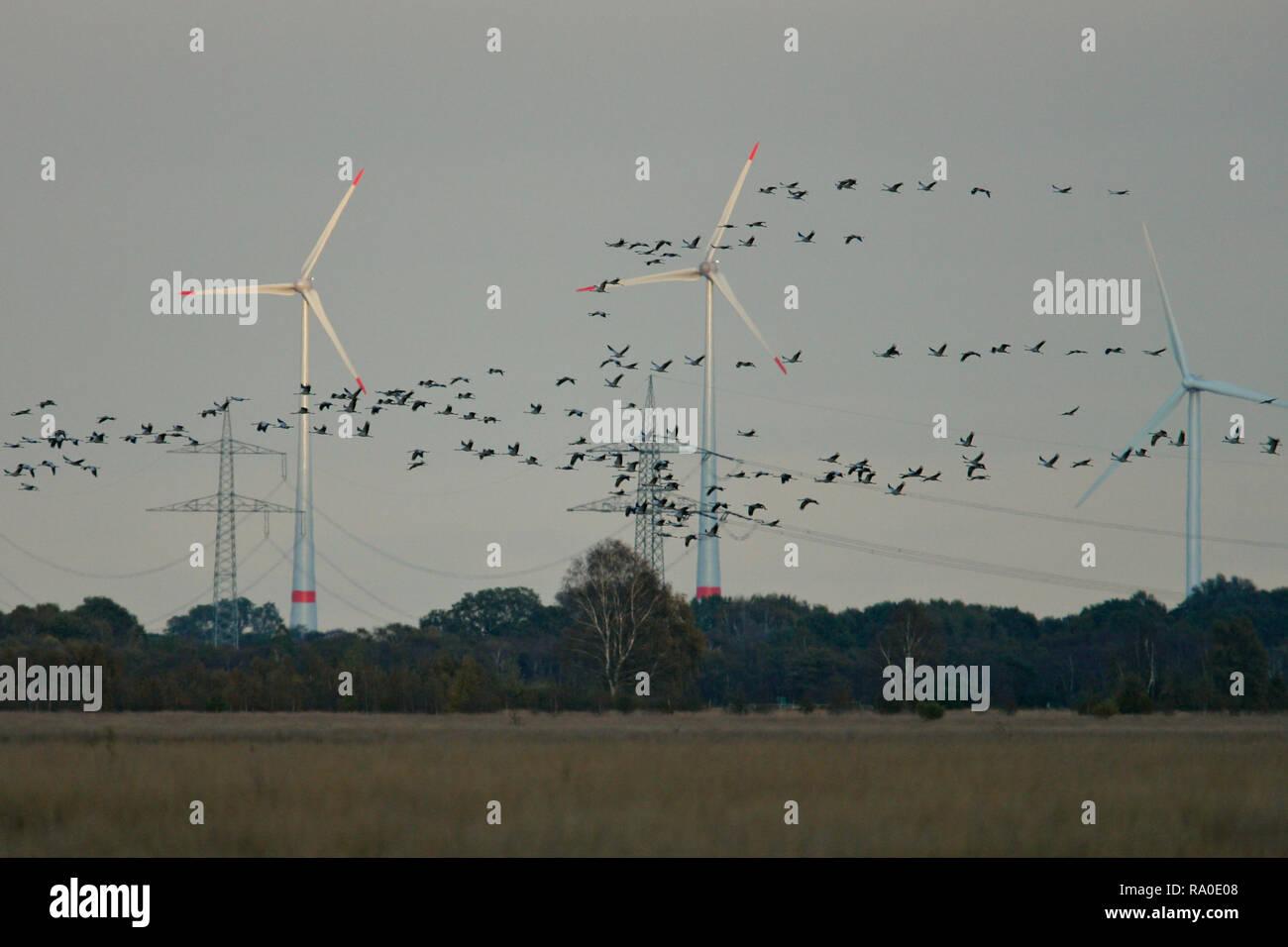 Grulla común (grus grus) gran rebaño vuelo y aterrizaje en frente de las turbinas eólicas, Hesse, Alemania Foto de stock