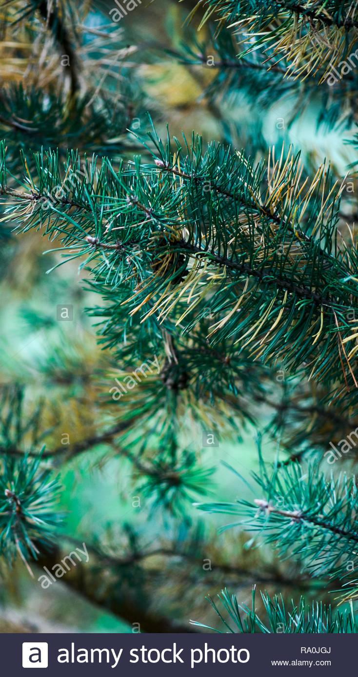 b9e3a68ca Rama de abeto con fondo suave borrosa. Foto artística jardín vertical para  calendarios