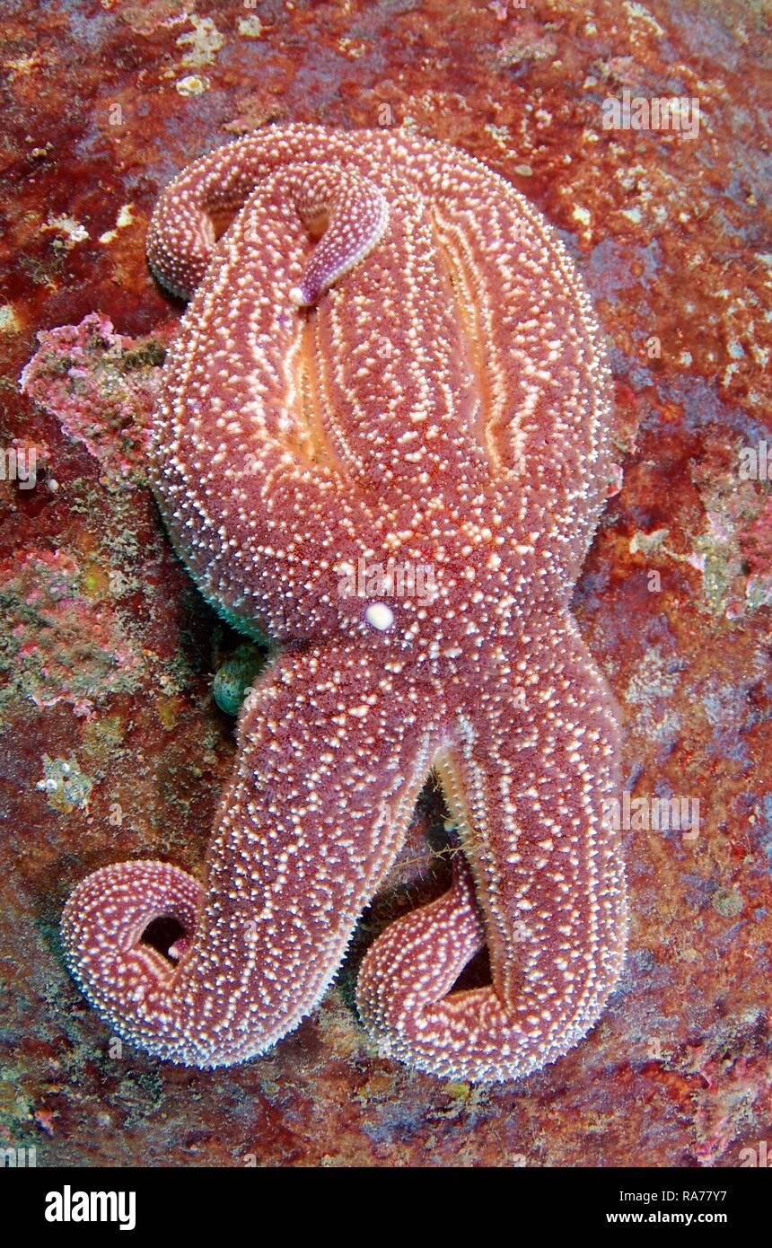 Starfish (Asterias rollestini), el Mar de Japón, en el Lejano Oriente, Primorsky Krai, Federación de Rusia Imagen De Stock