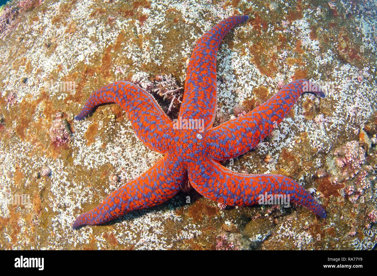 Starfish (Evasterias retifera), el Mar de Japón, en el Lejano Oriente, Primorsky Krai, Federación de Rusia Imagen De Stock