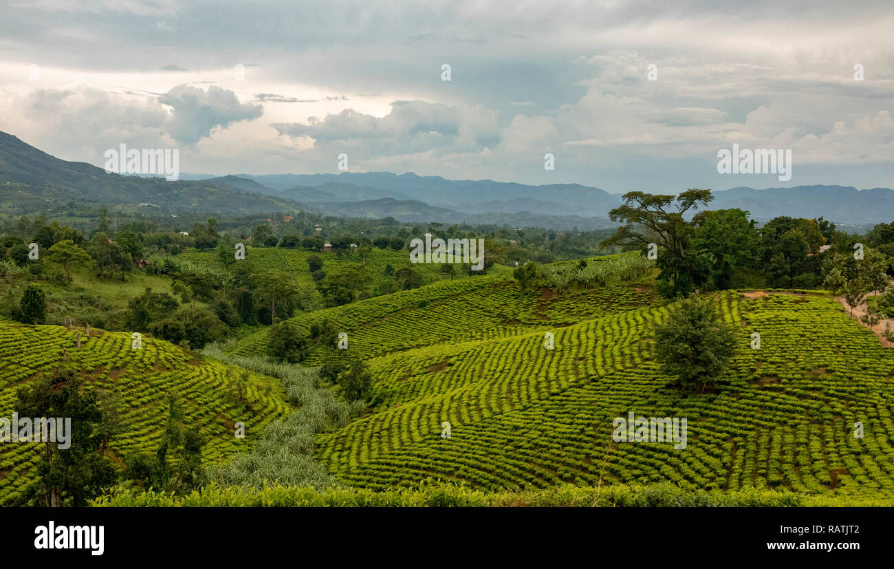 Plantaciones de Té cerca de Bwindi, Uganda, África occidental Imagen De Stock