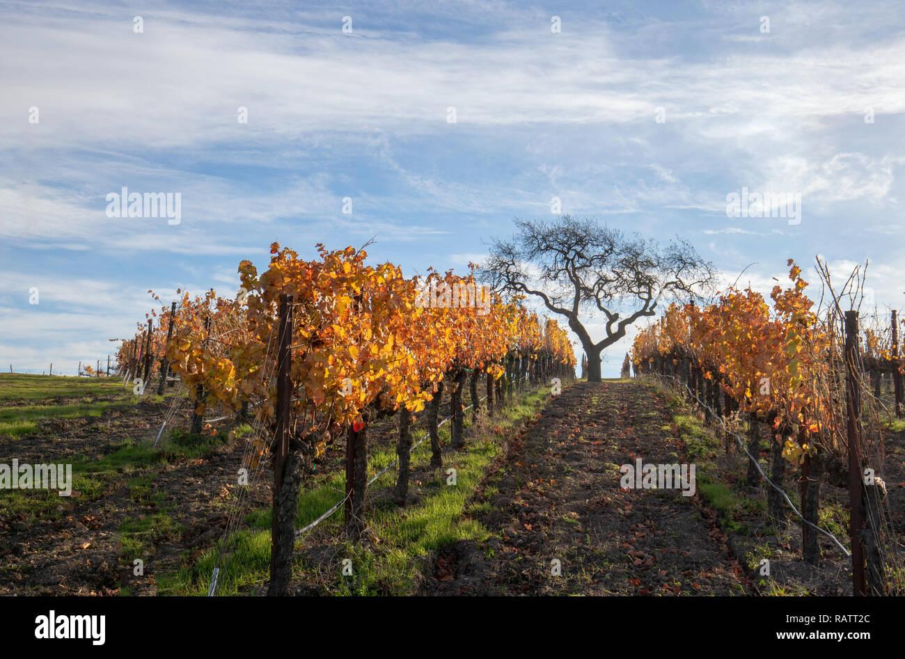 Vista de árbol de invierno en viña en las colinas de Santa Bárbara en el centro de California, Estados Unidos Foto de stock