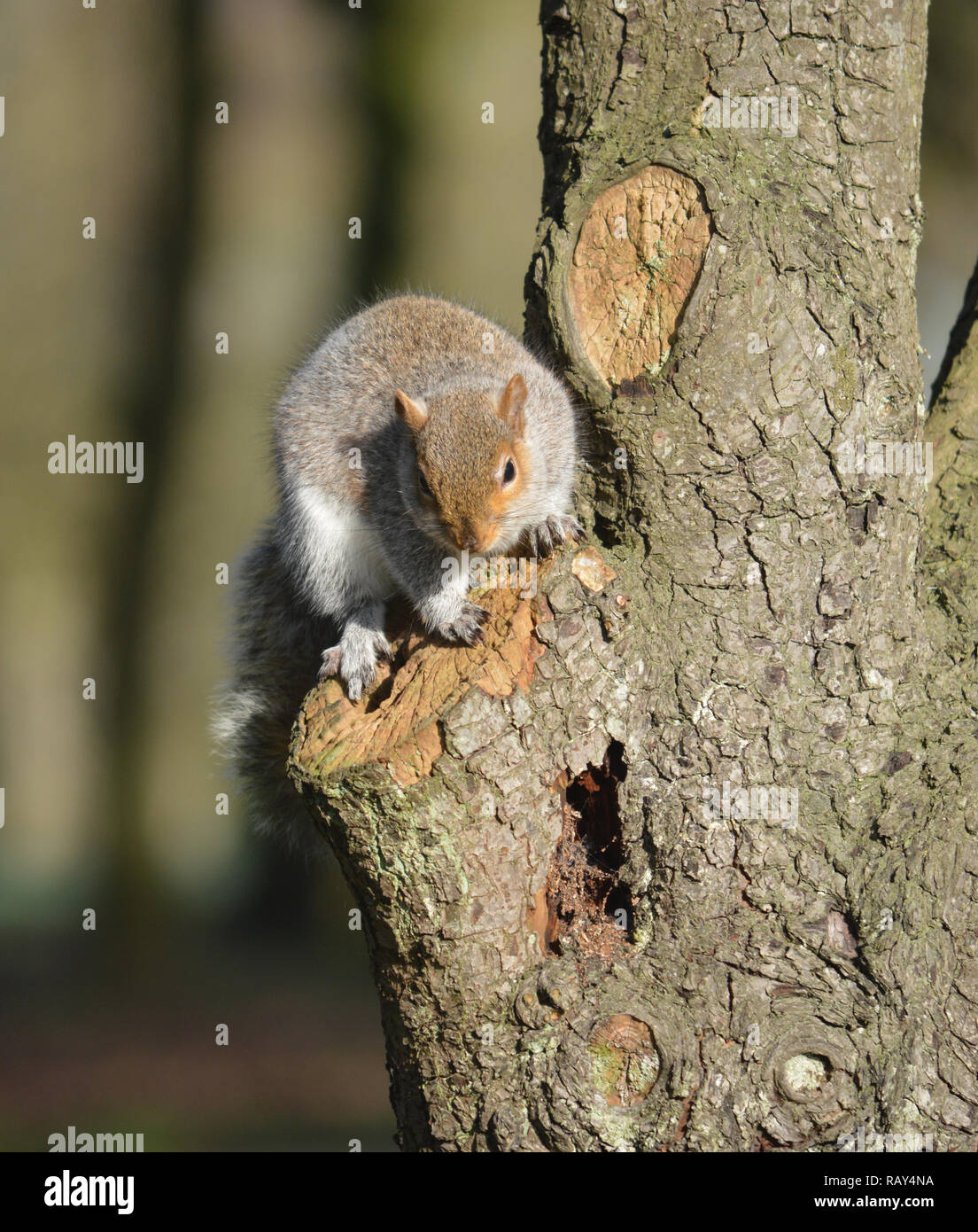 Ardilla gris sentado en un árbol en el parque Stanley, Blackpool, Lancashire UK Foto de stock