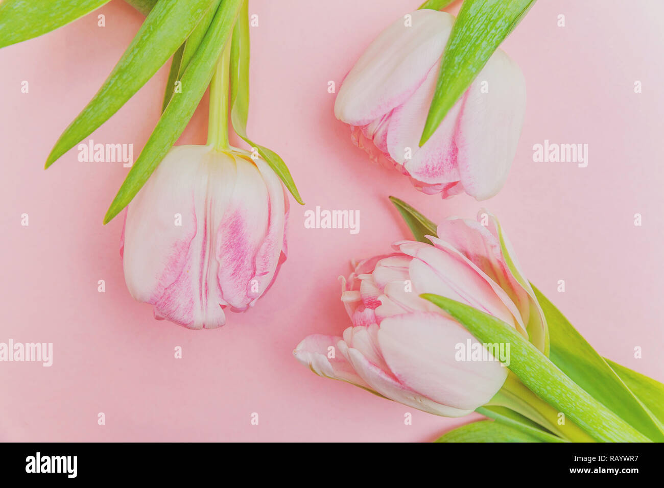 Tarjeta de felicitación de primavera. Ramo de tulipanes de color rosa pastel luz frescas flores sobre fondo de color rosa colorido moderno. Feliz día de la madre vacaciones de Pascua aniversario el día de San Valentín cumpleaños concepto. Plana Vista superior laicos espacio de copia Foto de stock