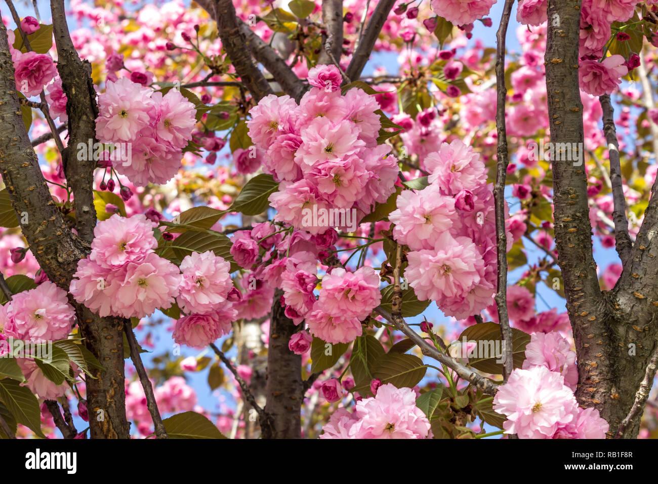 Hermosas flores de cerezo de sakura, el fondo. Primavera florales de fondo. Sakura de cerezo en flor en una primavera cálida y soleada tarde. Foto de stock