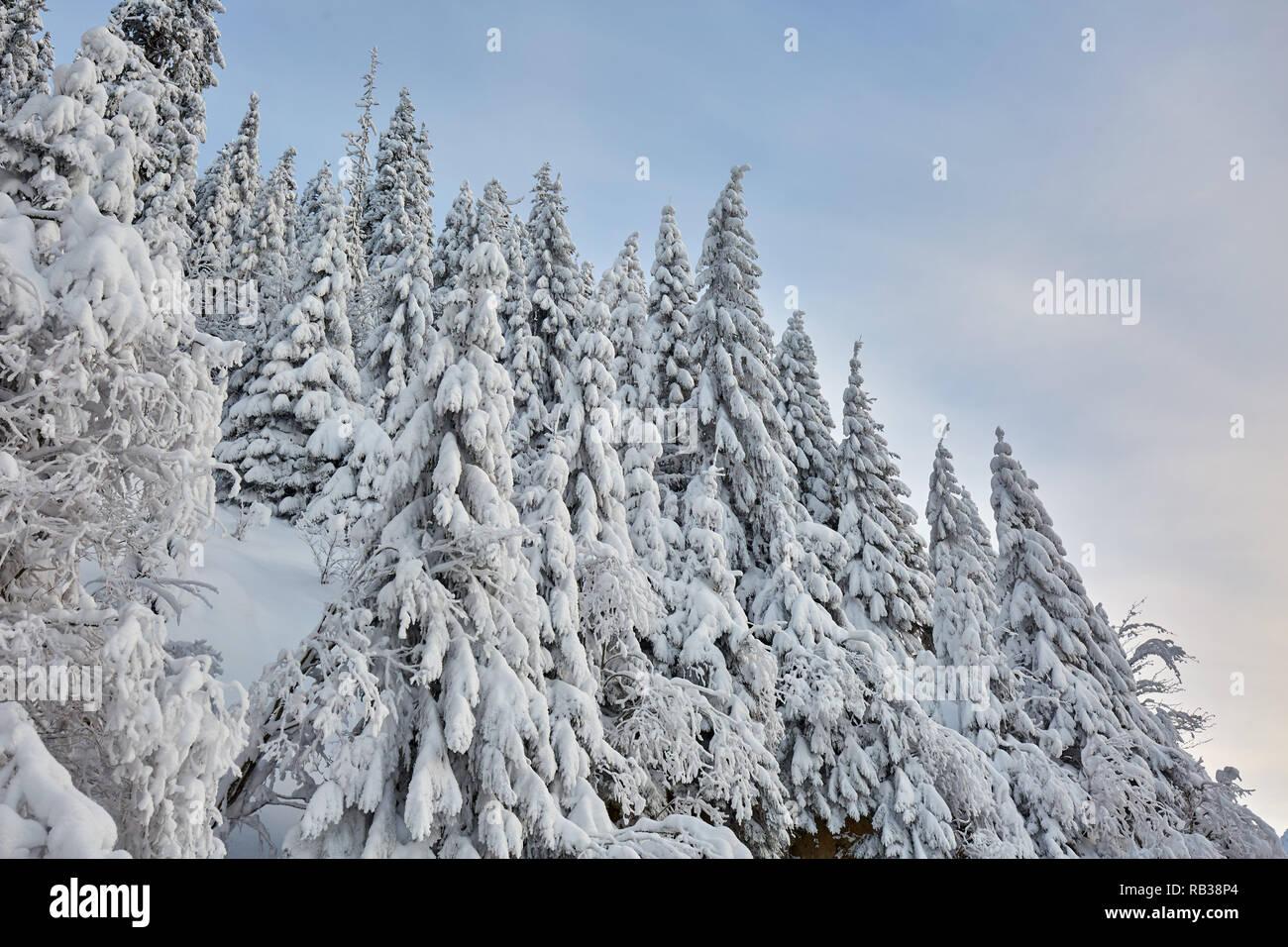 Paisaje de montaña con abetos cubiertos de nieve Foto de stock