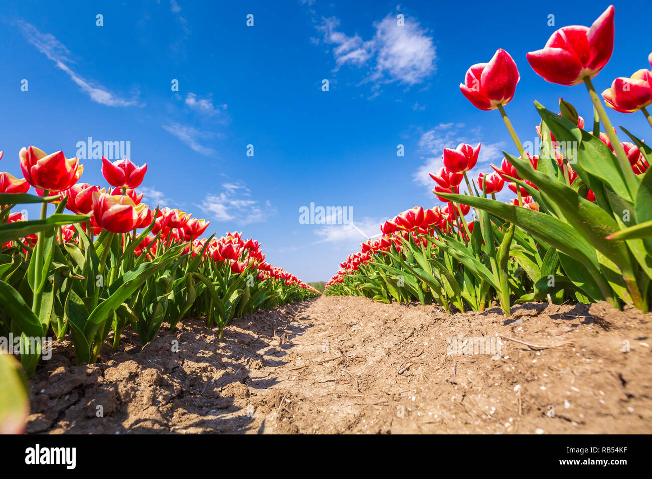 114ae536ab30 Primer plano de las filas holandés flamed tulipanes rojos y blancos en un  campo de flores en Holanda