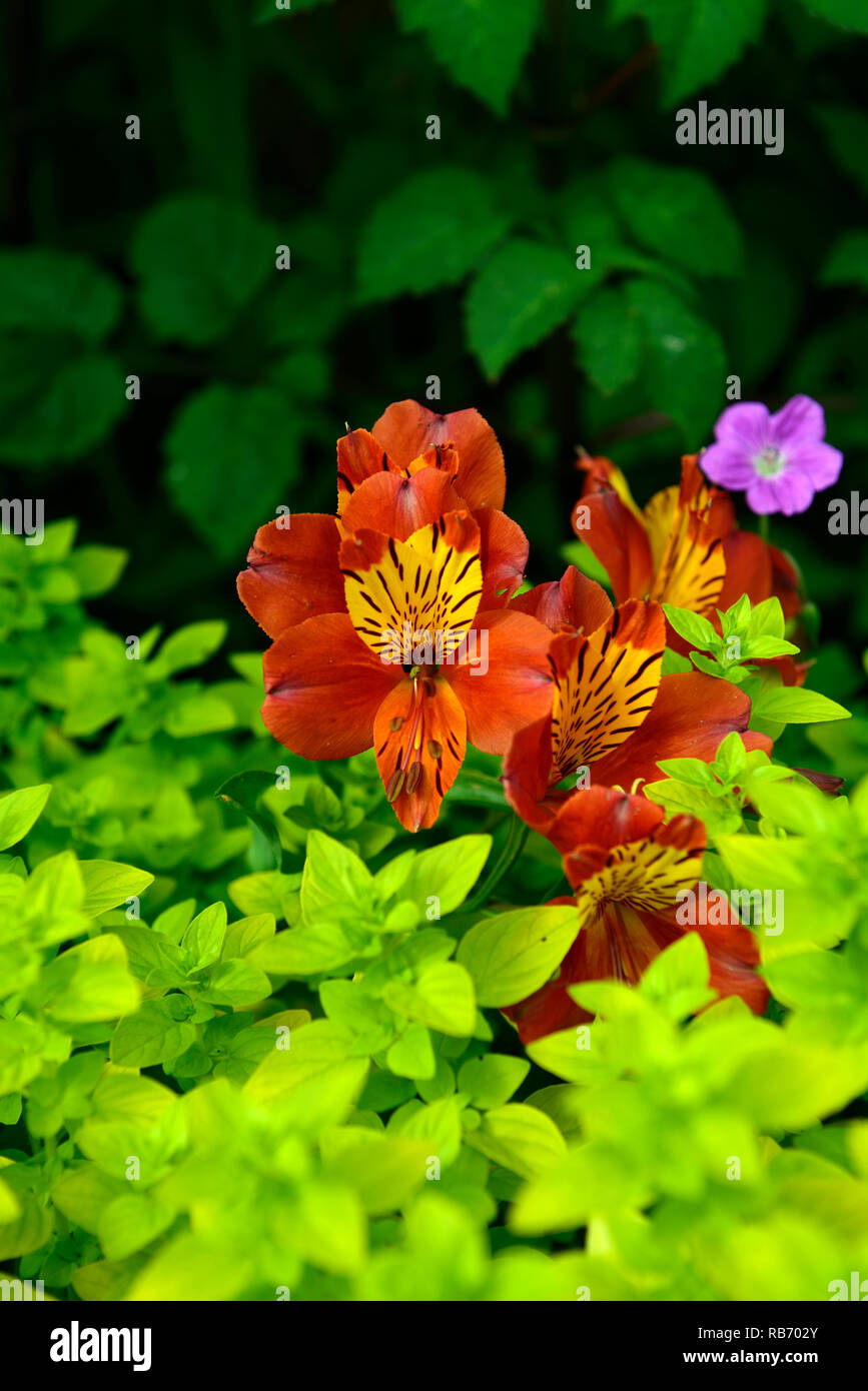 Alstroemeria gloria, flor de naranja, Flores, floración perenne, RM floral tierno Imagen De Stock