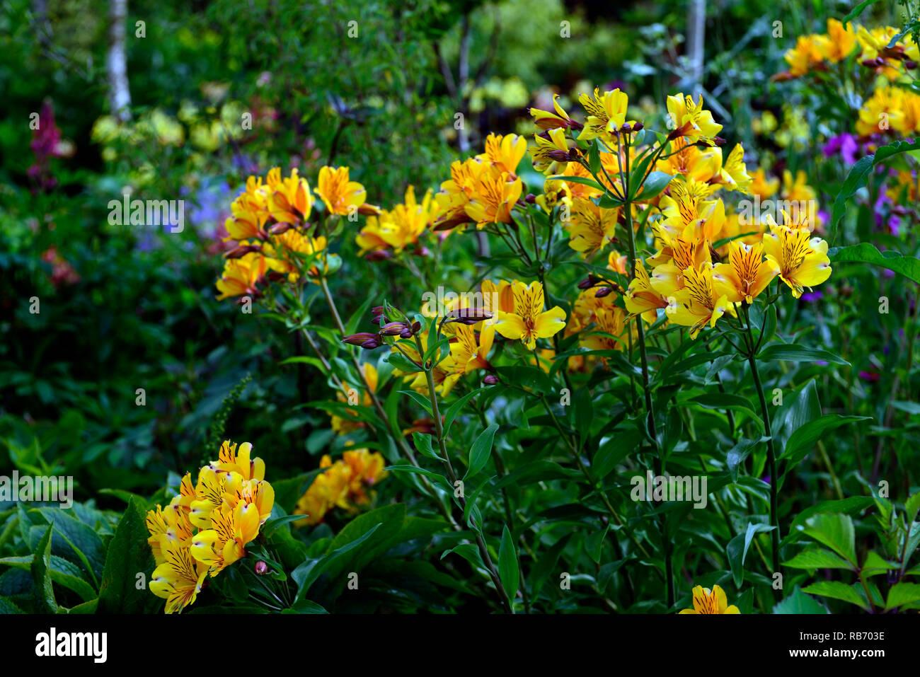Alstroemeria violacea amarillo amistad, flor, flores, floración perenne, RM floral tierno Imagen De Stock