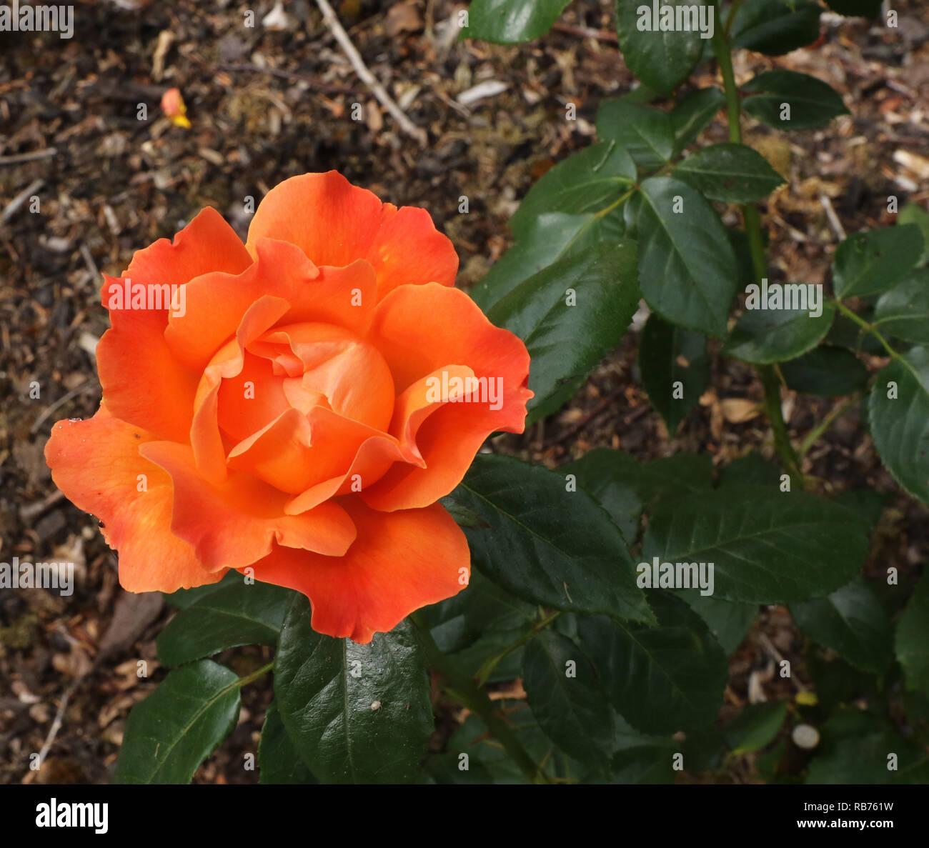 """""""Beca"""" una naranja rojo rosa floribunda en flor en 2018. Imagen De Stock"""