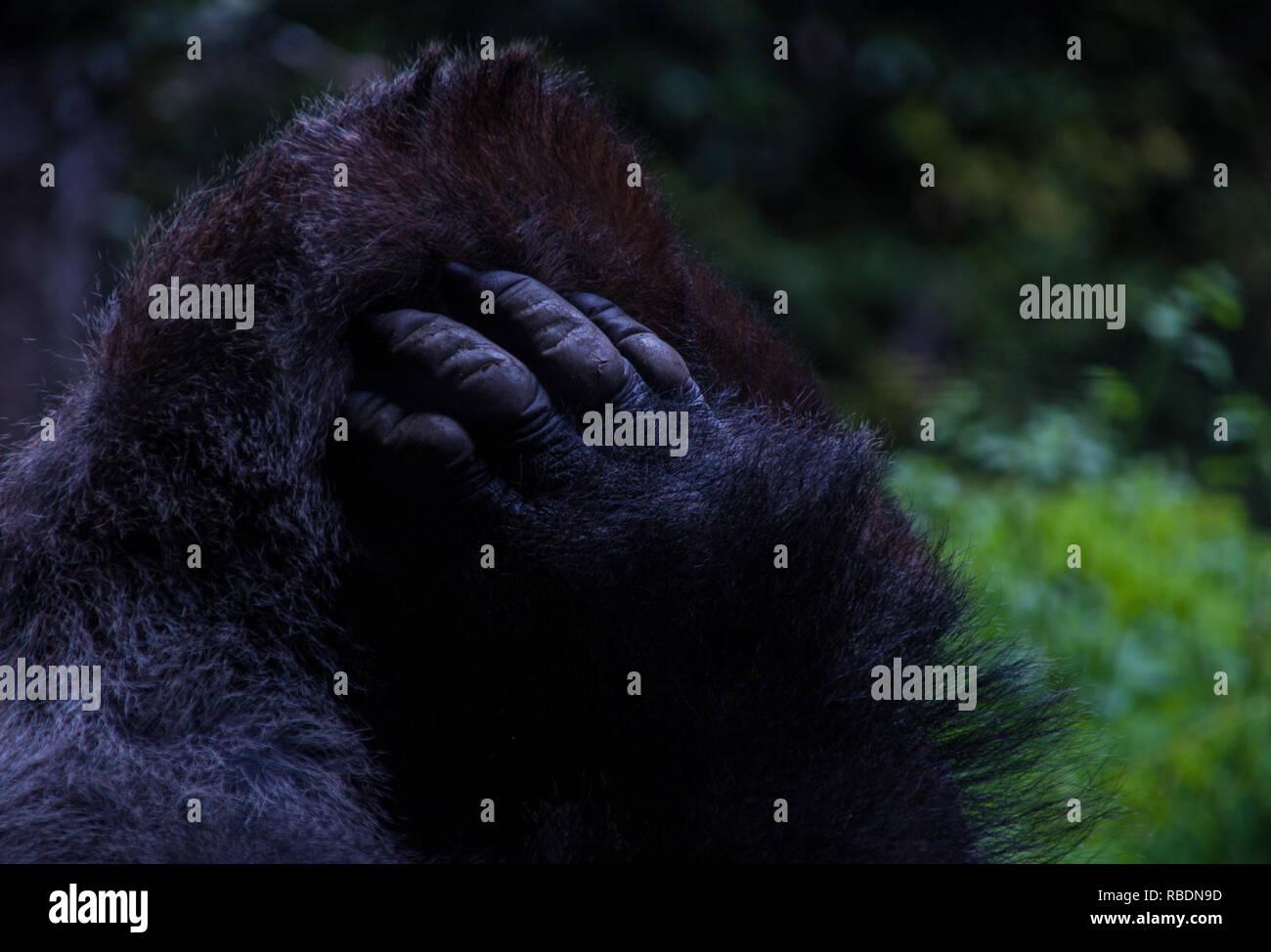 Un buen retrato de un gorila de las tierras bajas occidentales rascándose la cabeza Imagen De Stock