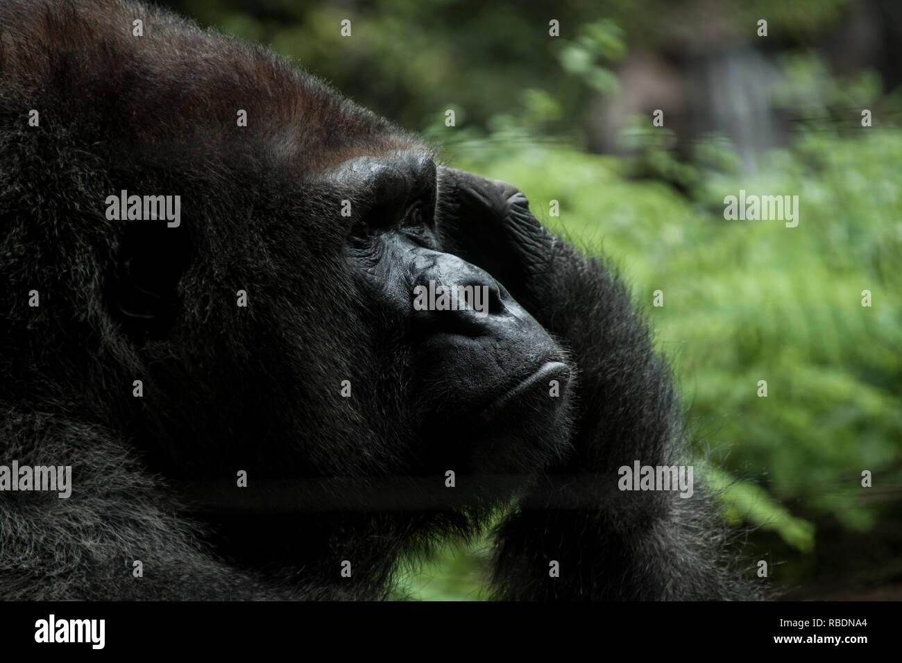 Un buen retrato de un gorila de las tierras bajas occidentales pensativo rascándose la cabeza Imagen De Stock