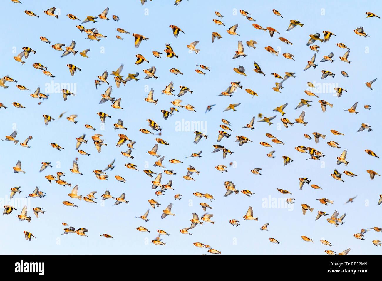 Muchos hermosos pájaros revelando alas volando por el cielo, hermosas aves Foto de stock