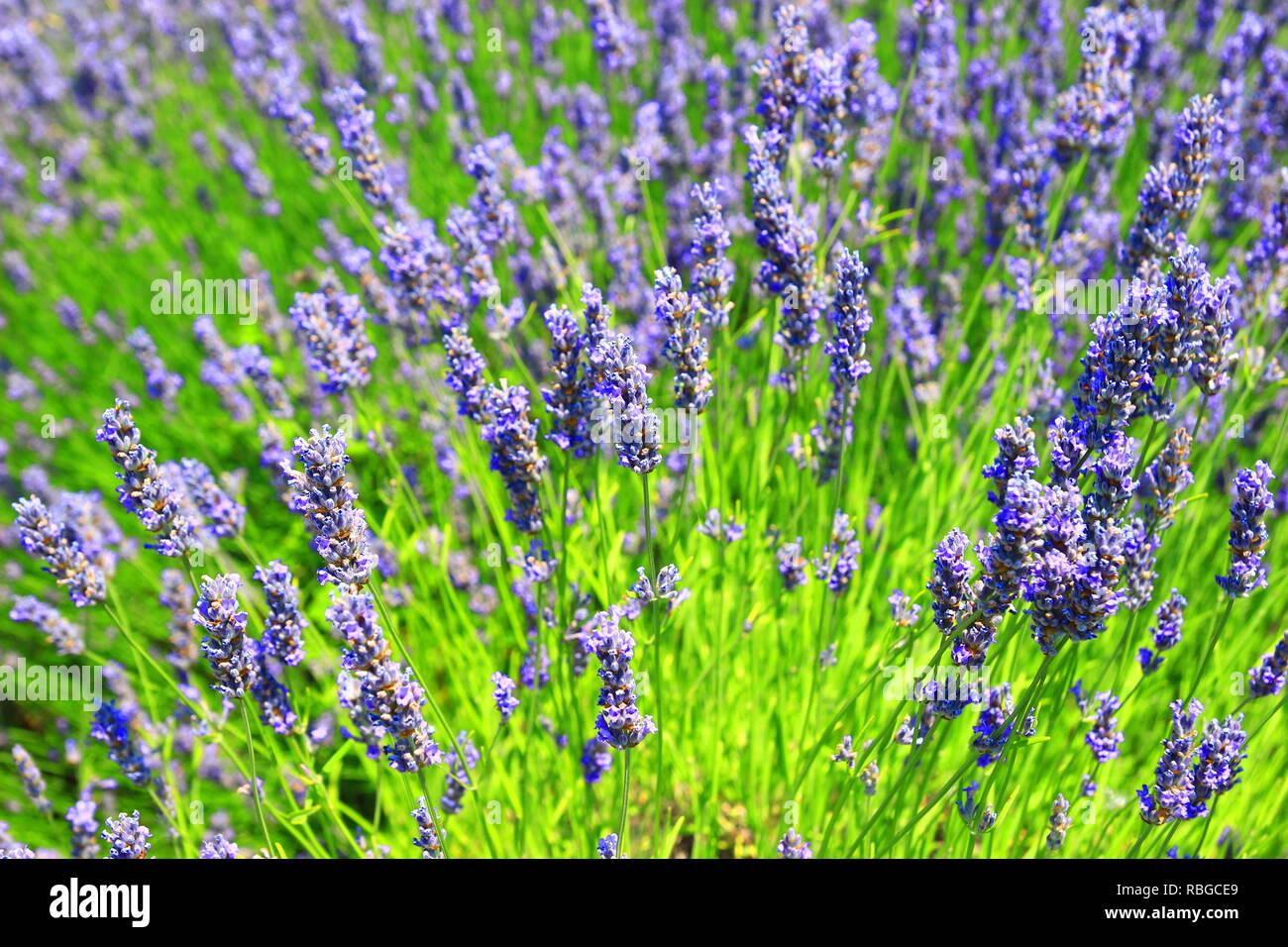 Flores de lavanda en el campo Imagen De Stock