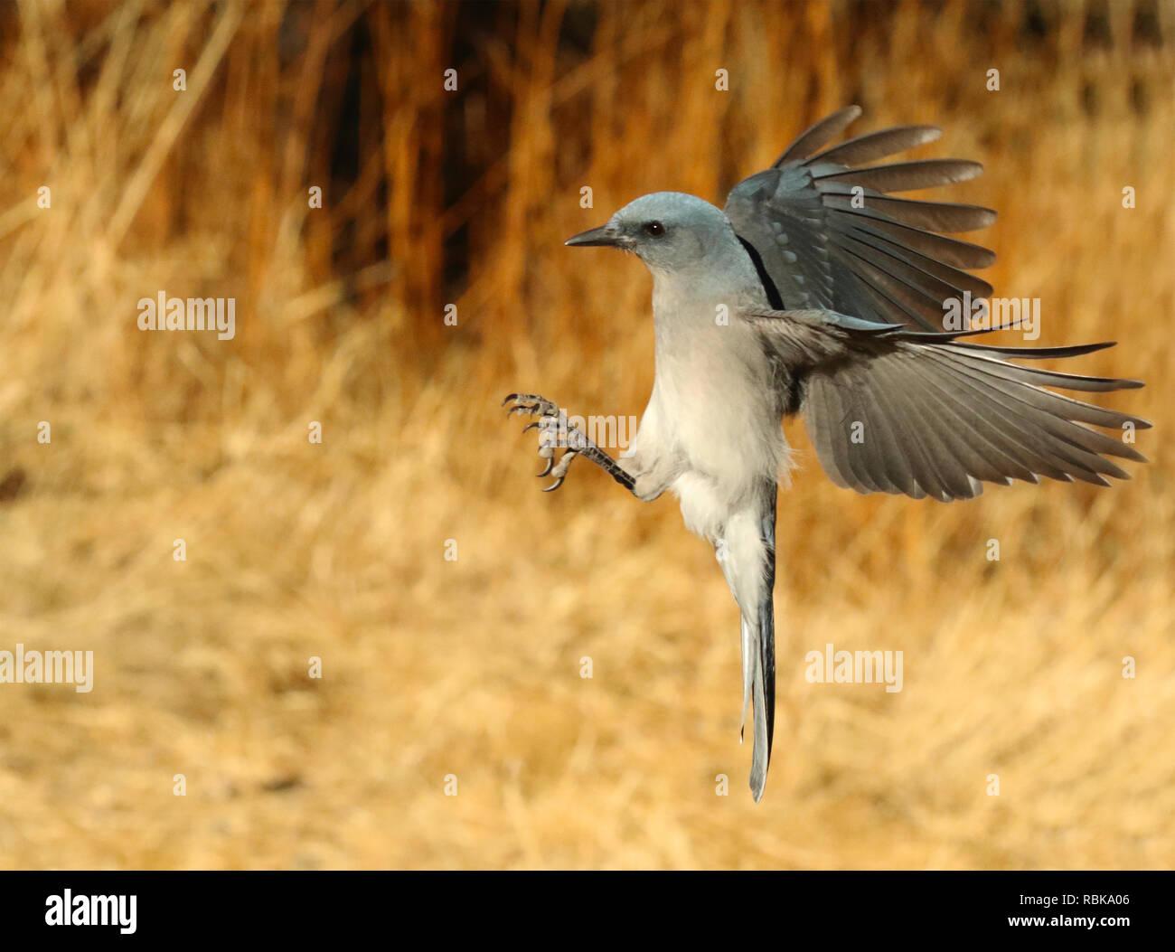 Un Scrub Jay aterrizaje abocinadas con alas. Imagen De Stock