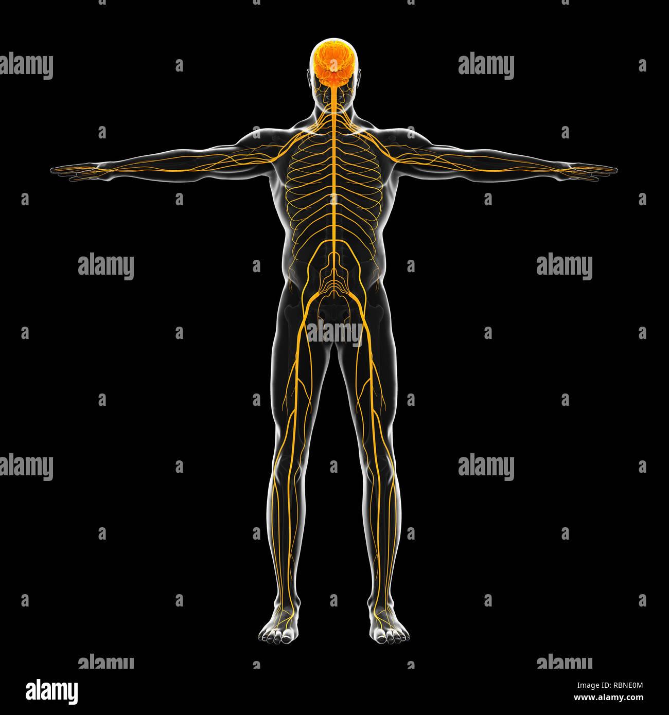 Ilustración del sistema nervioso humano Foto de stock
