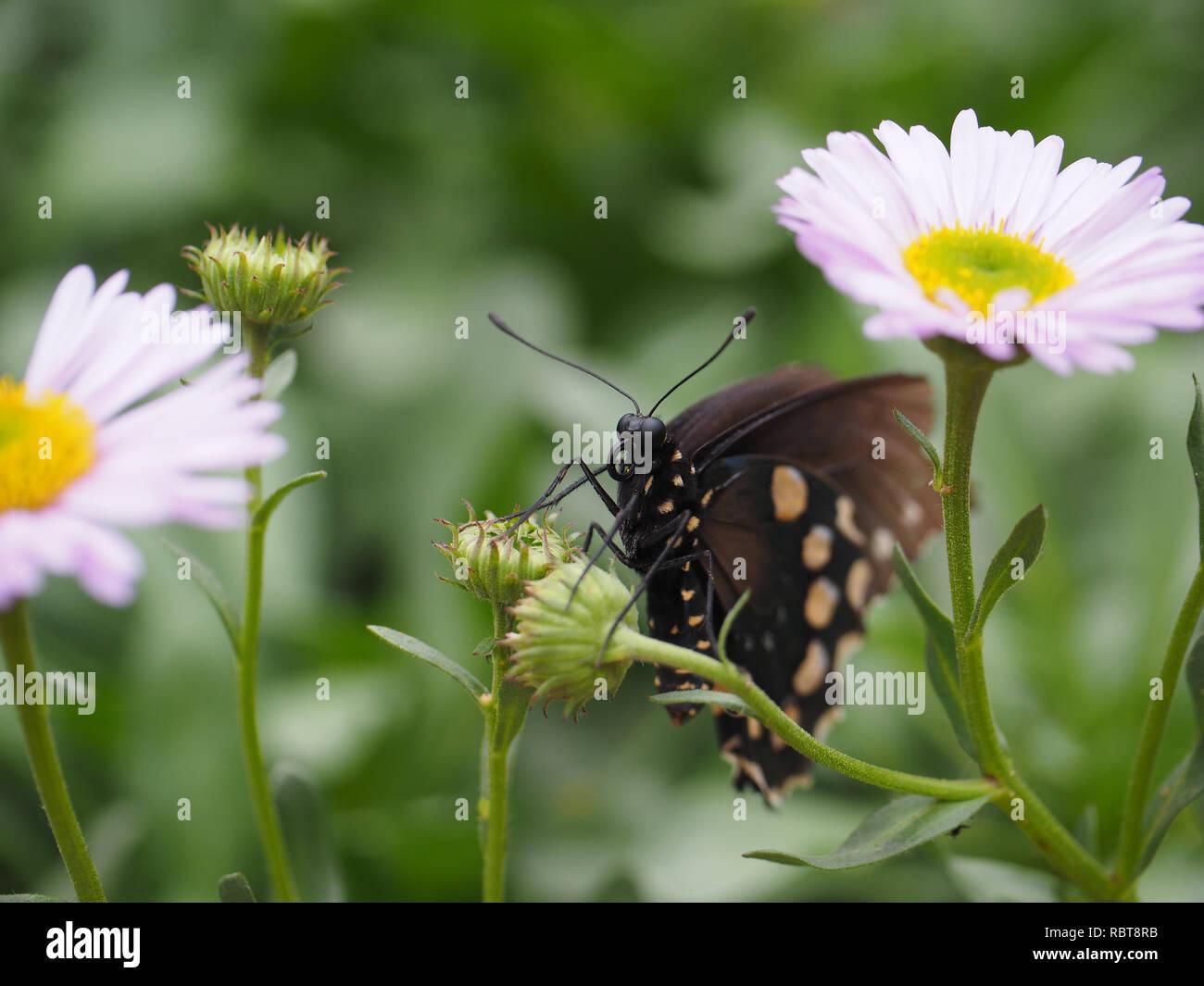 Bonita Mariposa Negra en Daisy desde el Pabellón de las mariposas al Museo de Historia Natural de Los Angeles, CA Foto de stock