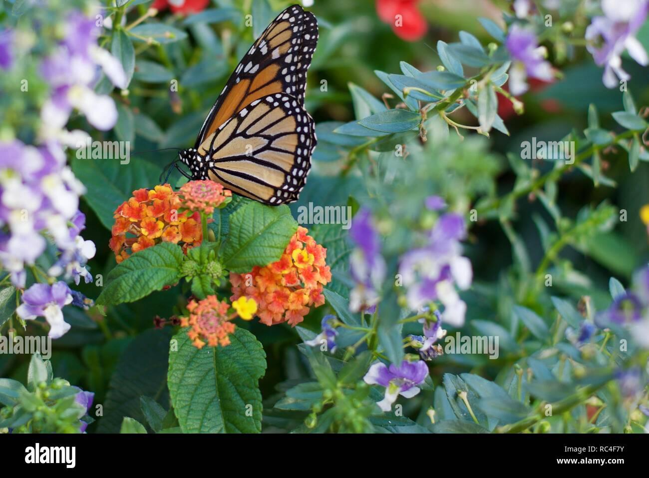 Mariposa Monarca más flores Imagen De Stock