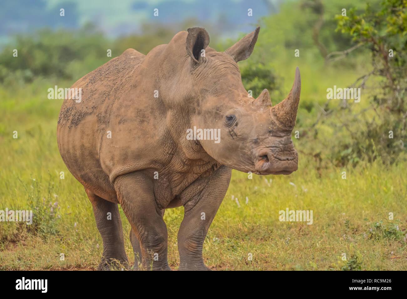 Un lindo macho bull White Rhino en el Parque Nacional Kruger Foto de stock