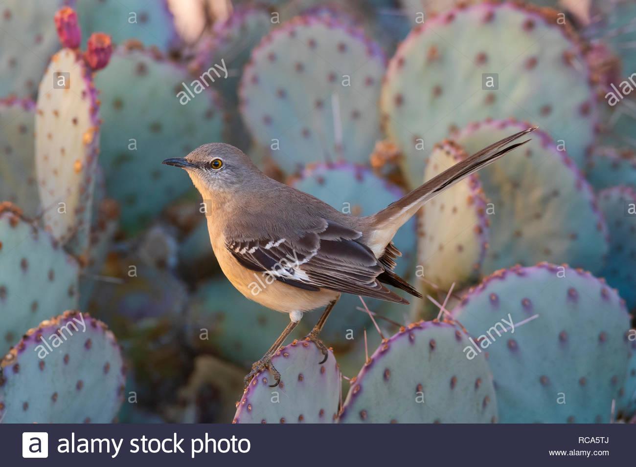 Un norte (Mimus polyglottos) descansa sobre un nopal en Chandler, Arizona. Los sinsontes del norte son conocidos por su inteligencia Imagen De Stock