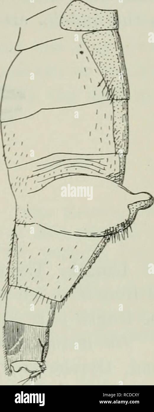 . Danica Diptera: Géneros y especies de moscas encontrado hasta ahora en Dinamarca. Diptera. Fig. 39. Fig. 41. Fig. 40. Abdomen de Ch. thoracia $. Fig. 39 normalmente distendido, desde arriba; Fig. 40 con los sacos sacó, desde arriba; Fig. 41 la misma desde el lado. en la cara ventral del sexto segmento tiene una gran placa ventral chitinized; así como conocer la ocurrencia de tal ventrite es muy rara entre los Phorids, su aparición aquí es, creo yo, debido a la peculiar construcción de abdomen. El lateral de pelos en el abdomen son algunos- lo llamativo además de los pelos largos en el segundo segmento; en la membr Foto de stock