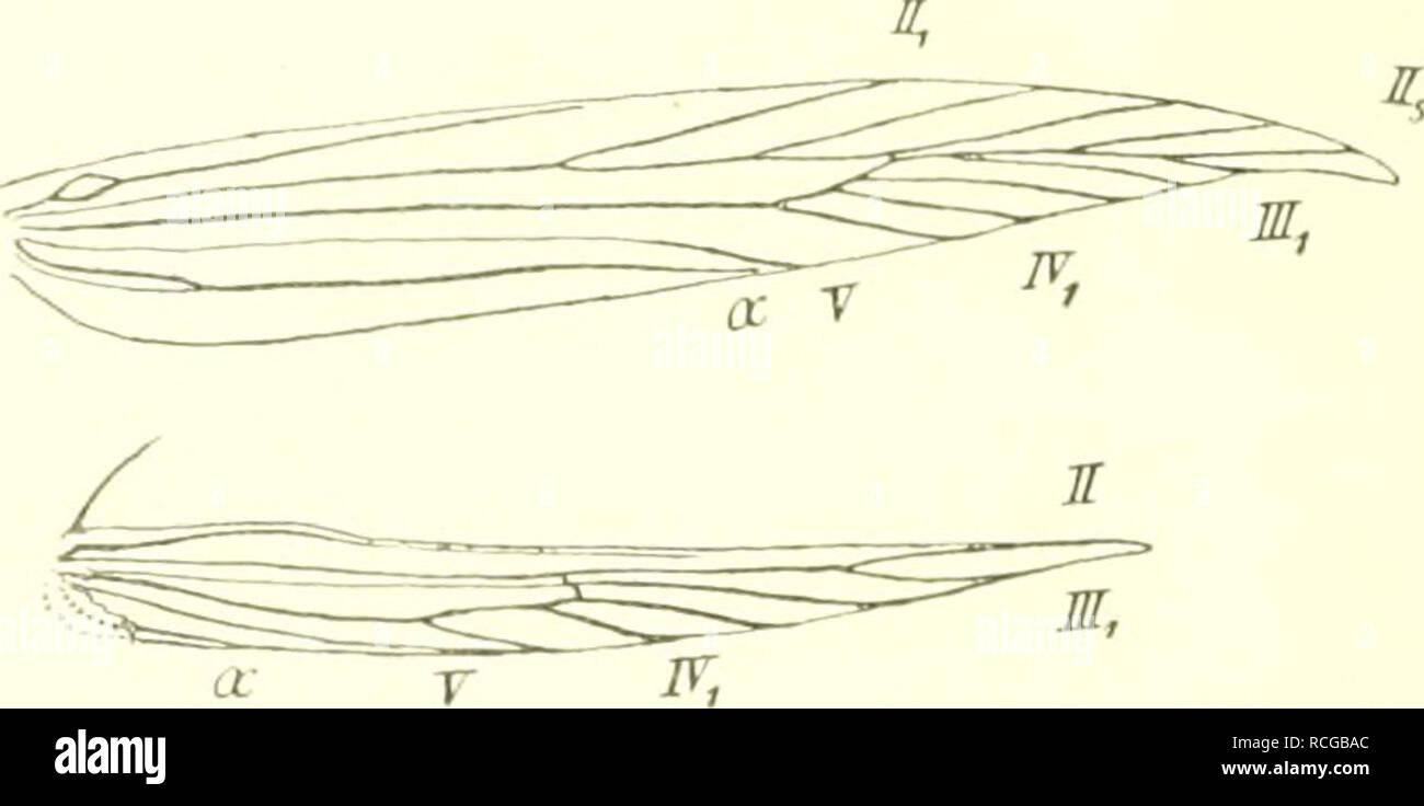 . Die Schmetterlinge Europas. Lepidoptera; las orugas. 149. FlüGelgeäder von Eustaint. pinleolella Di,p. g^, ^^ls '1 Expl. liombiniert; auf ' '/i vergrössert. genäHébert, IV kann geteilt sein. Hfl. mit ungeteilt. III,,2 (eine Andeutung ursprüngl. Teilung kann vor- kommen) III.J wohl ;ui IV, angeschlossen. Palpen- Egld kürzer als d ^Igkl. stumpf zugespitzt. 1. piuicolclla dup. Tat'. 89, Fig. 71. Vfl. beich- ockergelb ni, schwarz. En Punkten d. Falte u. vor der Spitze. Exp. 12â de13 mm. En Scliwed. M-Euroiia, W-RnÃld. u. Jl-Italien; iIitte Juni, Juli u. im Ang, -U- liraun gelblich; Kopf Foto de stock